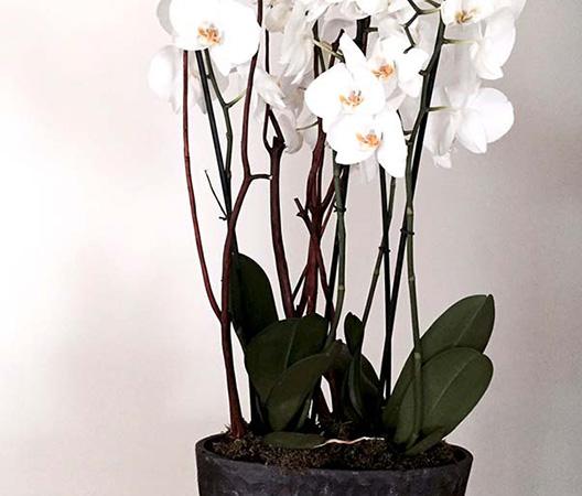 Composition d'orchidées 11